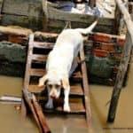 mekong-delta-dog